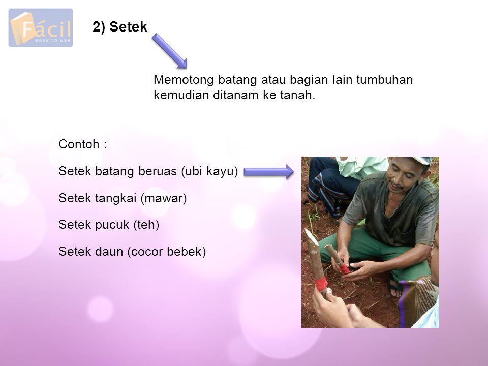 2) Setek Memotong batang atau bagian lain tumbuhan kemudian ditanam ke tanah.