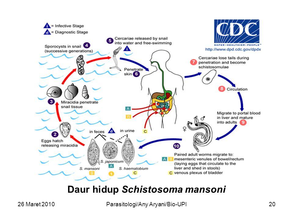 26 Maret 2010Parasitologi/Any Aryani/Bio-UPI20 Daur hidup Schistosoma mansoni