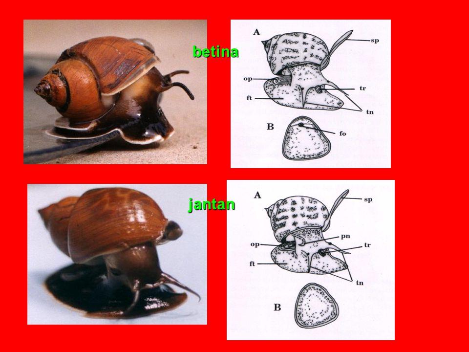 Reproduksi Bivalvia umumnya dioecious, mempunyai sepasang gonad yang terletak berdampingan dengan usus, kopulasi tidak ada.