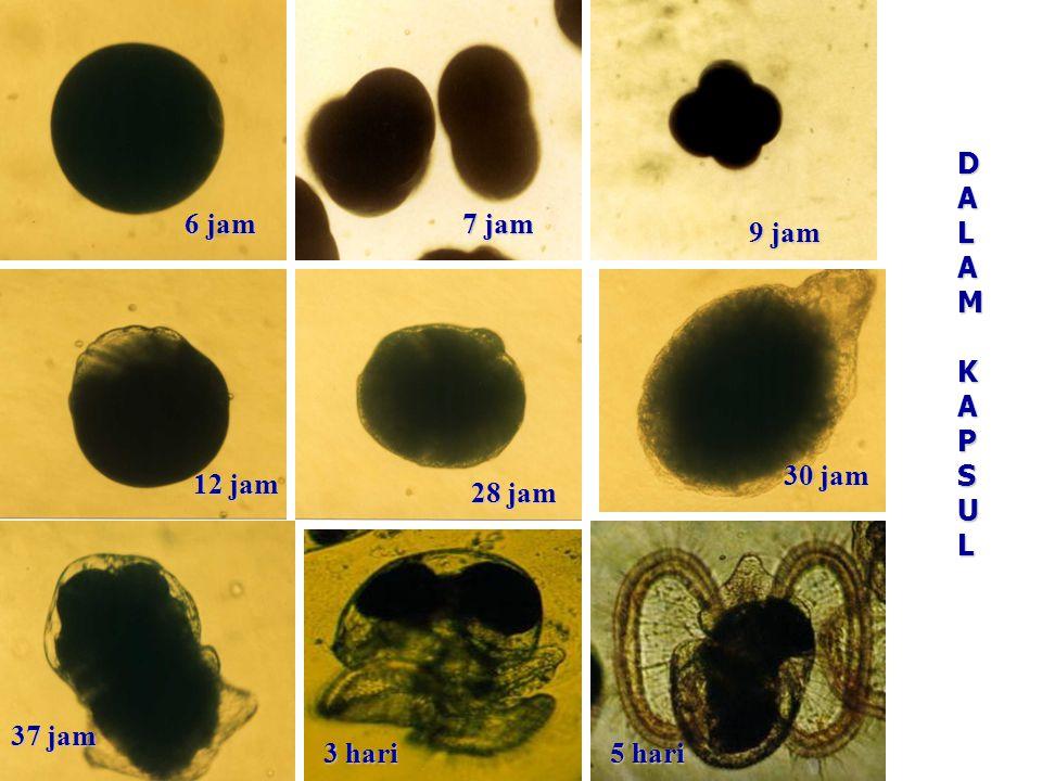 KAPSUL TELUR 45 kapsul per induk45 kapsul per induk Panjang 25,18-27,65 mmPanjang 25,18-27,65 mm Lebar 11,76-13,18 mmLebar 11,76-13,18 mm Panjang tangkai 15,04- 16,66 mmPanjang tangkai 15,04- 16,66 mm Berisi 864-1002 telurBerisi 864-1002 telur Perkembangan telur/larva dalam kapsul terjadi selama 5 hariPerkembangan telur/larva dalam kapsul terjadi selama 5 hari Perkembangan di luar kapsul 21 hari juvenilPerkembangan di luar kapsul 21 hari juvenil