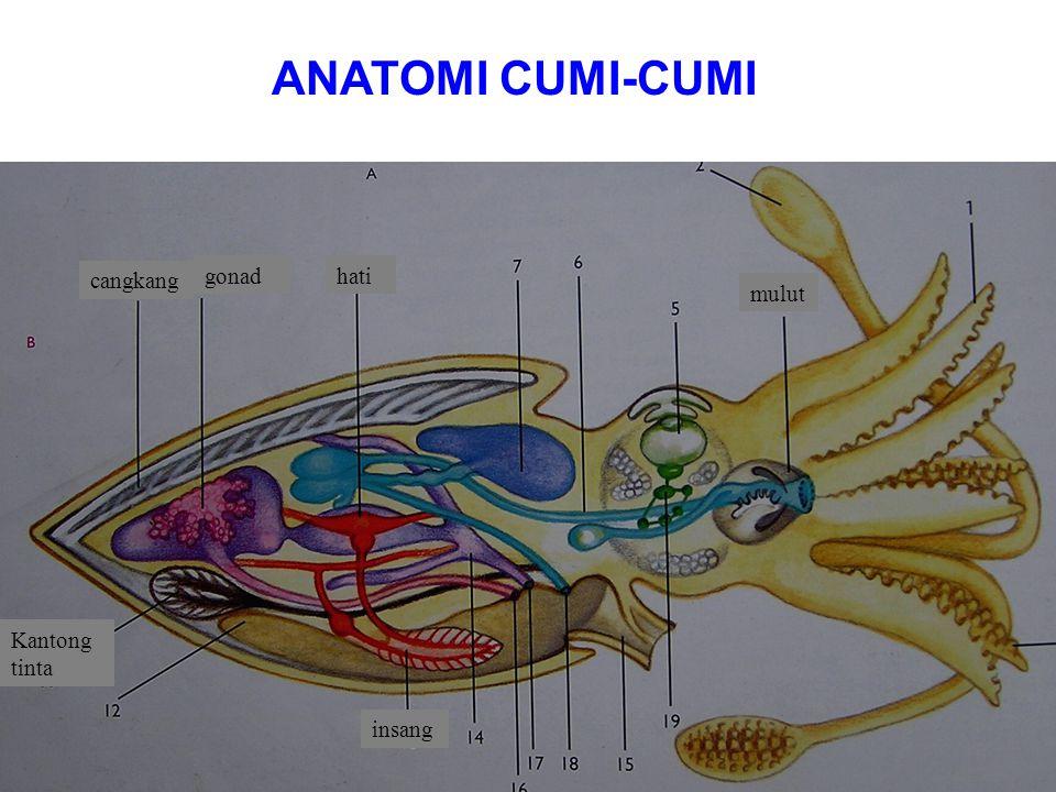 "Pada dasarnya tubuh pelecypoda pipih secara lateral dan seluruh tubuh tertutup dua keping cangkang yang berhubungan dibagian dorsal dengan adanya ""hin"