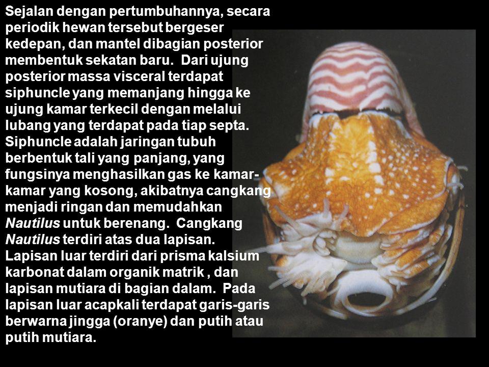 Cangkang cephalopoda umumnya mengecil dan terletak didalam atau lenyap, kecuali pada Nautilus. Cangkang Nautilus melingkar pada satu bidang datar (pla