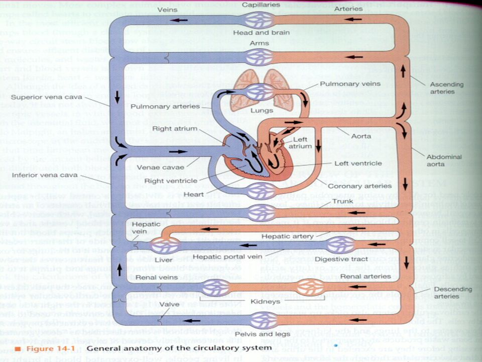 PENGATURAN HUMORAL –ZAT VASOKONTRIKTOR: NOREPINEFRIN DAN EPINEFRIN, ANGIOTENSIN, VASOPRESIN –ZAT VASODILATOR: BRADIKININ, HISTAMIN, PROSTAGLANDIN