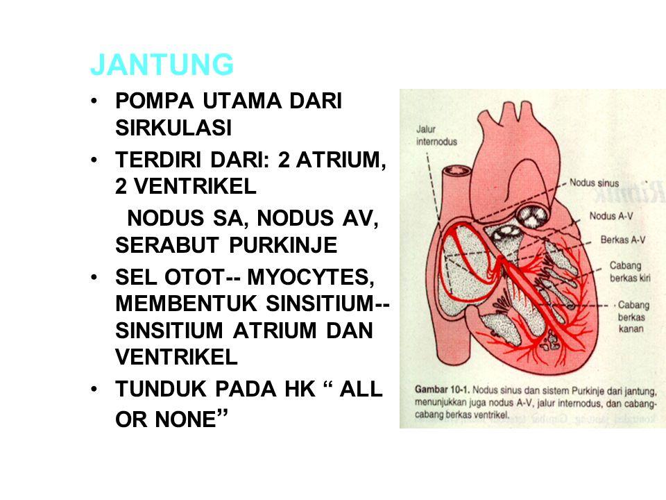 JANTUNG POMPA UTAMA DARI SIRKULASI TERDIRI DARI: 2 ATRIUM, 2 VENTRIKEL NODUS SA, NODUS AV, SERABUT PURKINJE SEL OTOT-- MYOCYTES, MEMBENTUK SINSITIUM--