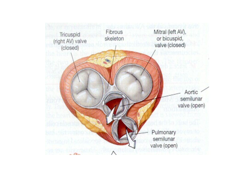 SEL OTOT JANTUNG – SEL OTOT JANTUNG (MYOCYTES) – MYOFIBRIL ACTIN DAN MYOSIN – DISKUS INTERKALARIS DESMOSUM DAN GAP JUNCTION –ANNULUS FIBROSUS –SINSITIUM : ATRIUM DAN VENTRIKEL –RESPON ALL OR NONE