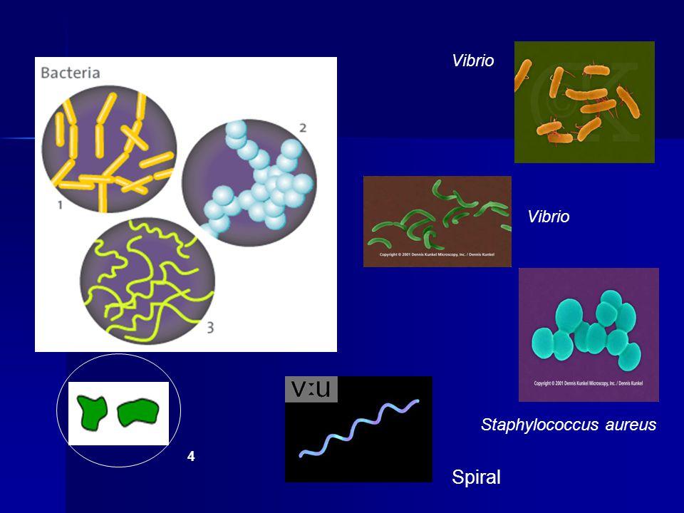 4 Vibrio Spiral Vibrio Staphylococcus aureus
