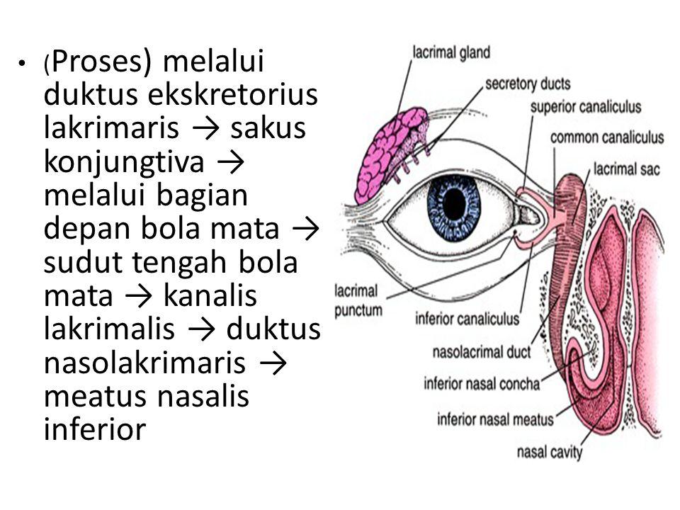 ( Proses) melalui duktus ekskretorius lakrimaris → sakus konjungtiva → melalui bagian depan bola mata → sudut tengah bola mata → kanalis lakrimalis →