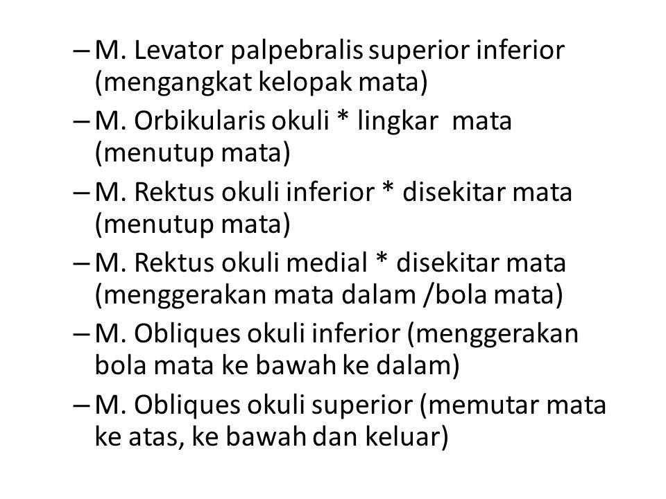 – M. Levator palpebralis superior inferior (mengangkat kelopak mata) – M. Orbikularis okuli * lingkar mata (menutup mata) – M. Rektus okuli inferior *