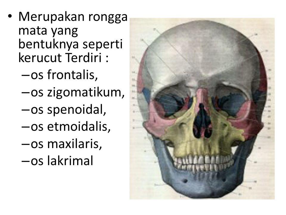 Merupakan rongga mata yang bentuknya seperti kerucut Terdiri : – os frontalis, – os zigomatikum, – os spenoidal, – os etmoidalis, – os maxilaris, – os