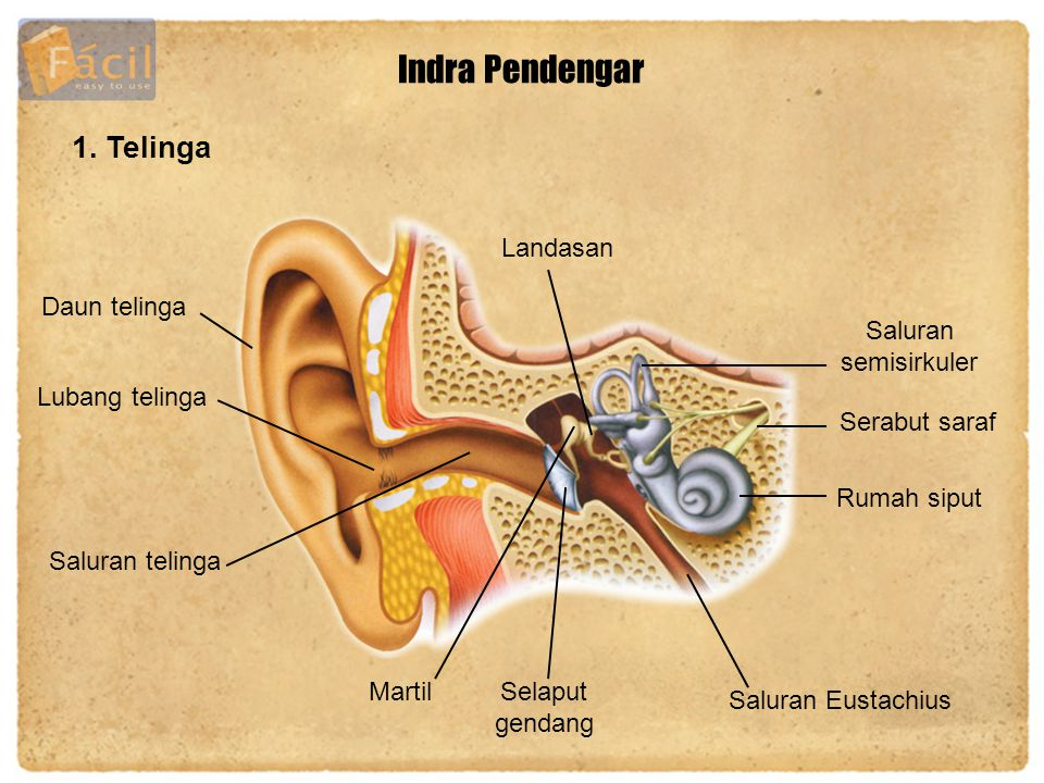 Indra Pendengar 1. Telinga Daun telinga Lubang telinga MartilSelaput gendang Landasan Saluran semisirkuler Serabut saraf Rumah siput Saluran Eustachiu