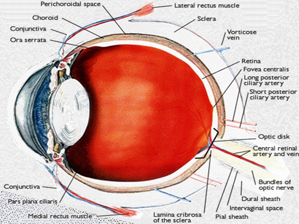  Mata identik dengan kamera ◦ Memiliki sistem lensa ◦ Bayangan yang terbentuk yang jatuh di retina adalah bayangan yang terbalik