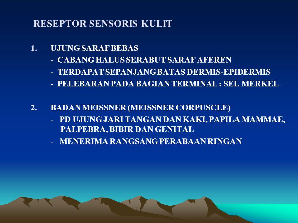 RESEPTOR SENSORIS KULIT 1.UJUNG SARAF BEBAS - CABANG HALUS SERABUT SARAF AFEREN - TERDAPAT SEPANJANG BATAS DERMIS-EPIDERMIS - PELEBARAN PADA BAGIAN TERMINAL : SEL MERKEL 2.BADAN MEISSNER (MEISSNER CORPUSCLE) - PD UJUNG JARI TANGAN DAN KAKI, PAPILA MAMMAE, PALPEBRA, BIBIR DAN GENITAL - MENERIMA RANGSANG PERABAAN RINGAN