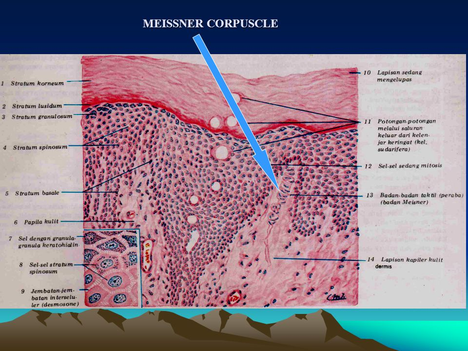 MEISSNER CORPUSCLE