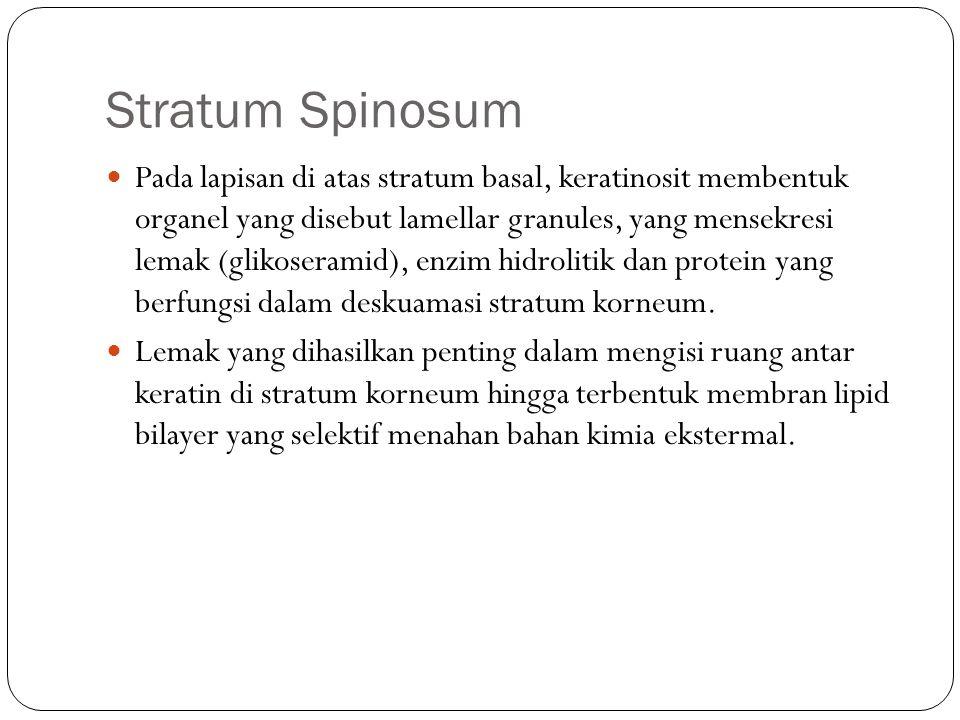 Stratum Spinosum Pada lapisan di atas stratum basal, keratinosit membentuk organel yang disebut lamellar granules, yang mensekresi lemak (glikoseramid), enzim hidrolitik dan protein yang berfungsi dalam deskuamasi stratum korneum.