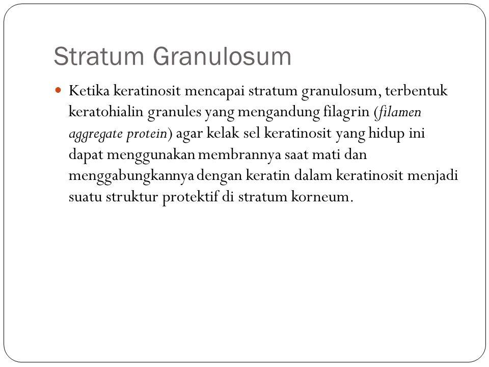Stratum Granulosum Ketika keratinosit mencapai stratum granulosum, terbentuk keratohialin granules yang mengandung filagrin (filamen aggregate protein