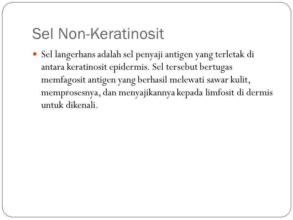 Sel Non-Keratinosit Sel langerhans adalah sel penyaji antigen yang terletak di antara keratinosit epidermis. Sel tersebut bertugas memfagosit antigen