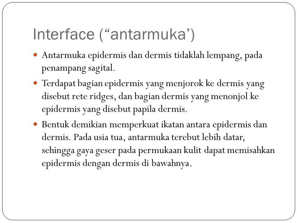 """Interface (""""antarmuka') Antarmuka epidermis dan dermis tidaklah lempang, pada penampang sagital. Terdapat bagian epidermis yang menjorok ke dermis yan"""