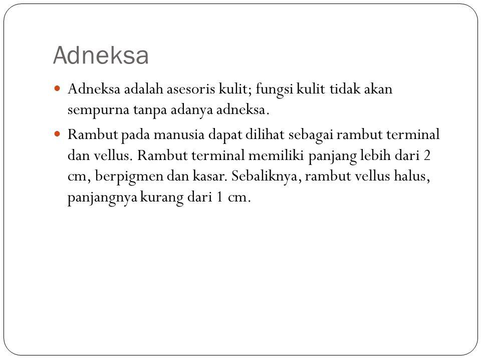 Adneksa Adneksa adalah asesoris kulit; fungsi kulit tidak akan sempurna tanpa adanya adneksa. Rambut pada manusia dapat dilihat sebagai rambut termina