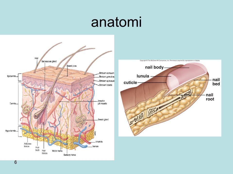 7 Kulit dan organ pendukung yaitu rambut, kuku, kelenjar sebasea, ekrin dan apokrin; adalah organ tubuh terbesar.