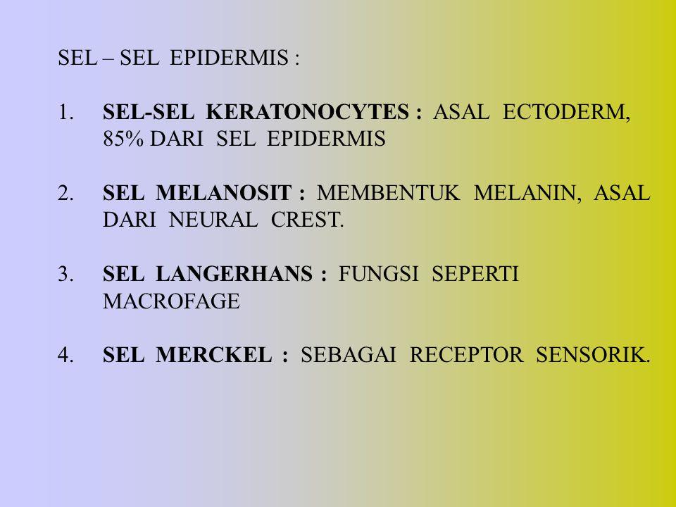 SEL – SEL EPIDERMIS : 1. SEL-SEL KERATONOCYTES : ASAL ECTODERM, 85% DARI SEL EPIDERMIS 2. SEL MELANOSIT : MEMBENTUK MELANIN, ASAL DARI NEURAL CREST. 3