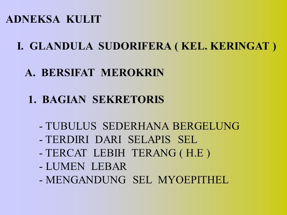 ADNEKSA KULIT I. GLANDULA SUDORIFERA ( KEL. KERINGAT ) A. BERSIFAT MEROKRIN 1. BAGIAN SEKRETORIS - TUBULUS SEDERHANA BERGELUNG - TERDIRI DARI SELAPIS