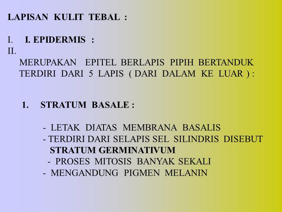 LAPISAN KULIT TEBAL : I. I. EPIDERMIS : II. MERUPAKAN EPITEL BERLAPIS PIPIH BERTANDUK TERDIRI DARI 5 LAPIS ( DARI DALAM KE LUAR ) : 1. STRATUM BASALE