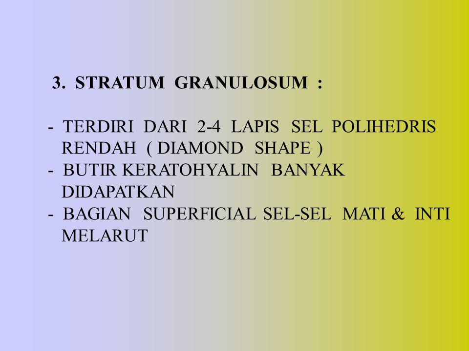 3. STRATUM GRANULOSUM : - TERDIRI DARI 2-4 LAPIS SEL POLIHEDRIS RENDAH ( DIAMOND SHAPE ) - BUTIR KERATOHYALIN BANYAK DIDAPATKAN - BAGIAN SUPERFICIAL S