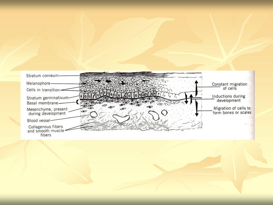STRUKTUR KULIT Pada vertebrata struktur kulit terdiri dari 2 lapisan utama, yaitu : # epidermis, lapisan luar yang terdiri dari jaringan epitel berlapis pipih, berasal dari derivat ektoderm # dermis/ korium, terletak di bawah epidermis, terdiri dari jaringan ikat, merupakan derivat mesoderm Kulit dapat dibagi menjadi 2 kategori : 1.