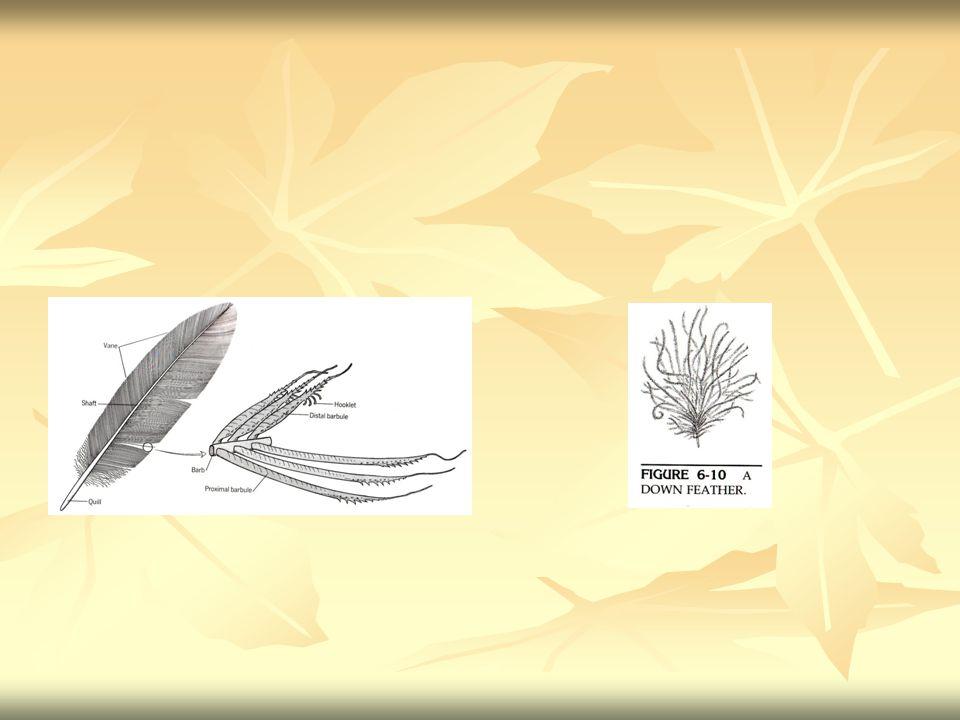 Jaringan ikat sub kutan - Disebut juga hipodermis - terdapat di bawah dermis - Berfungsi untuk menghubungkan jaringan di bawahnya, biasanya jaringan otot - Pada Amfibi, lapisan subkutan hanya berupa rongga atau sinus yang berisi limfa.