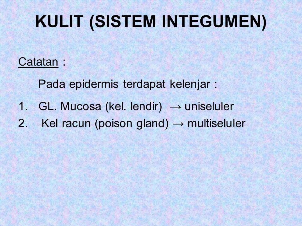 KULIT (SISTEM INTEGUMEN) Catatan : Pada epidermis terdapat kelenjar : 1.GL. Mucosa (kel. lendir) → uniseluler 2. Kel racun (poison gland) → multiselul