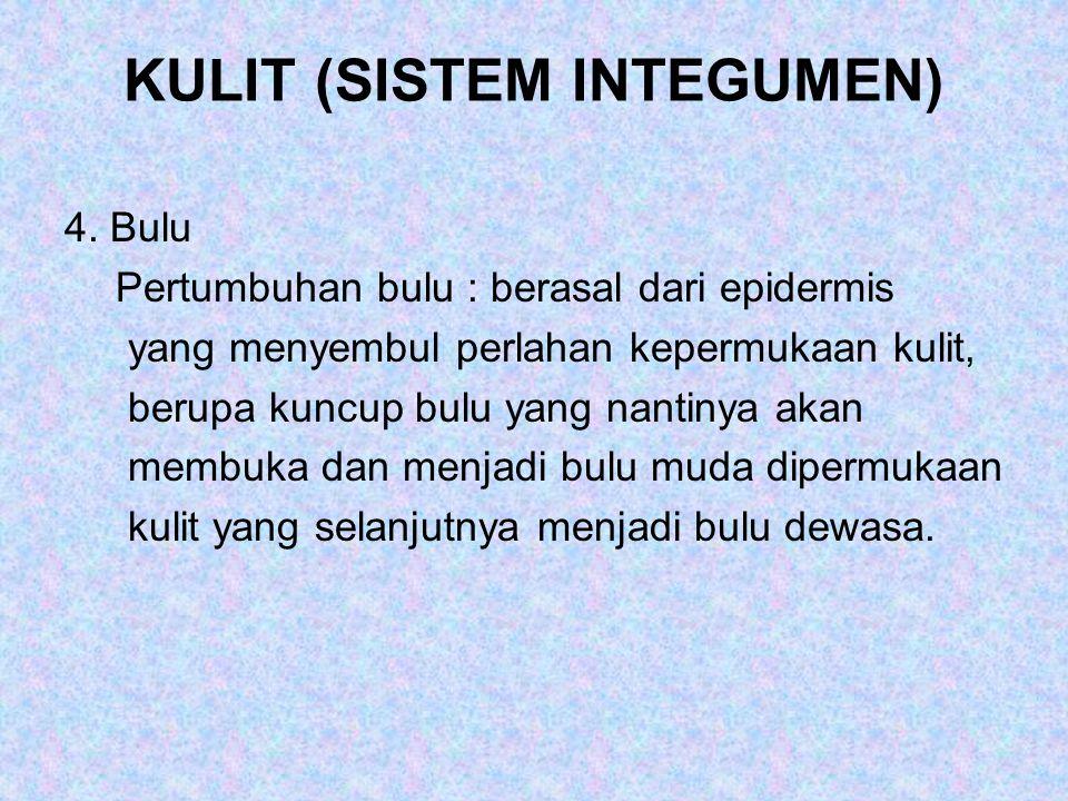 KULIT (SISTEM INTEGUMEN) 4. Bulu Pertumbuhan bulu : berasal dari epidermis yang menyembul perlahan kepermukaan kulit, berupa kuncup bulu yang nantinya
