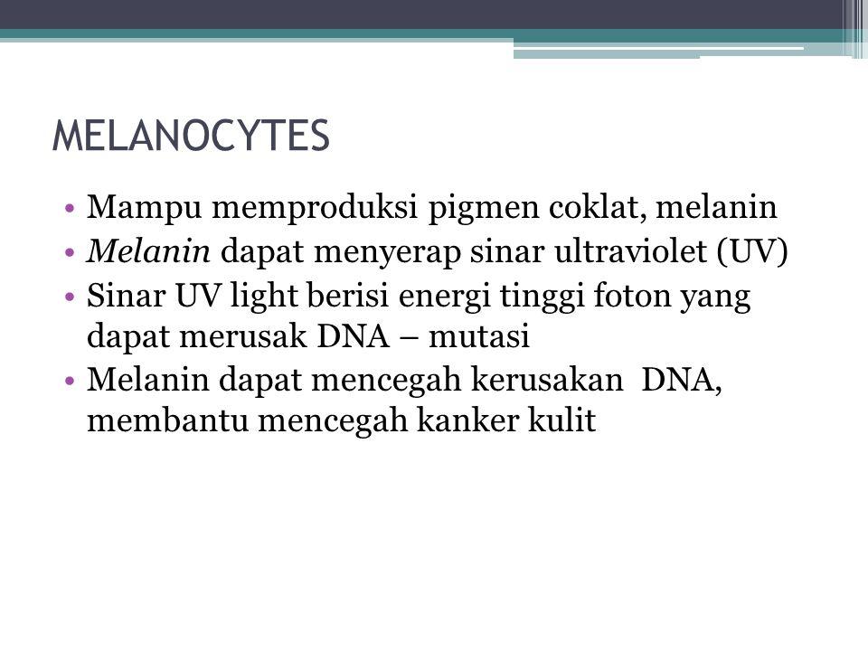 MELANOCYTES Mampu memproduksi pigmen coklat, melanin Melanin dapat menyerap sinar ultraviolet (UV) Sinar UV light berisi energi tinggi foton yang dapat merusak DNA – mutasi Melanin dapat mencegah kerusakan DNA, membantu mencegah kanker kulit