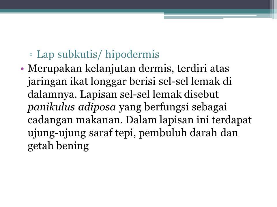 ▫Lap subkutis/ hipodermis Merupakan kelanjutan dermis, terdiri atas jaringan ikat longgar berisi sel-sel lemak di dalamnya. Lapisan sel-sel lemak dise