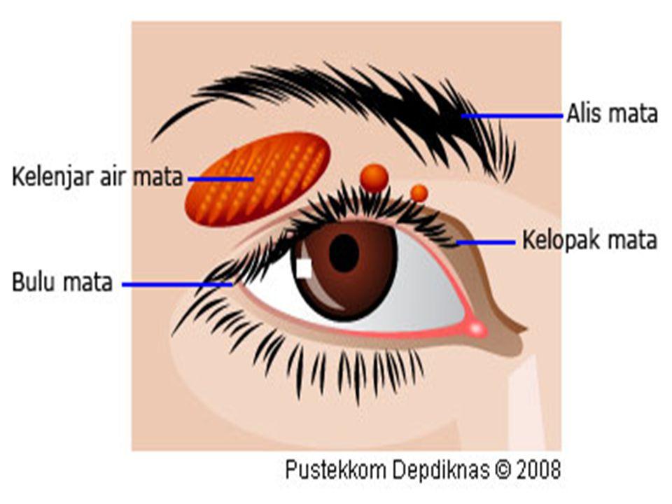 3.Kelenjar air mata (Aparatus lakrimalis) Kelenjar air mata letaknya disudut lateral atas pada rongga mata, dan berfungsi untuk menghasilkan air mata.