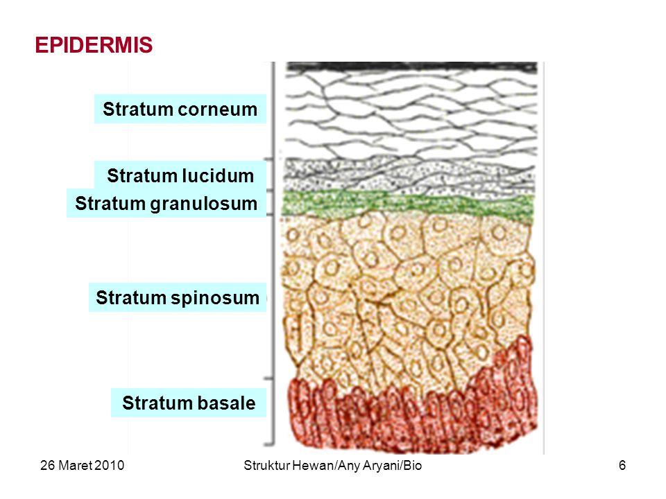26 Maret 2010Struktur Hewan/Any Aryani/Bio6 Stratum corneum Stratum lucidum Stratum granulosum Stratum spinosum Stratum basale EPIDERMIS