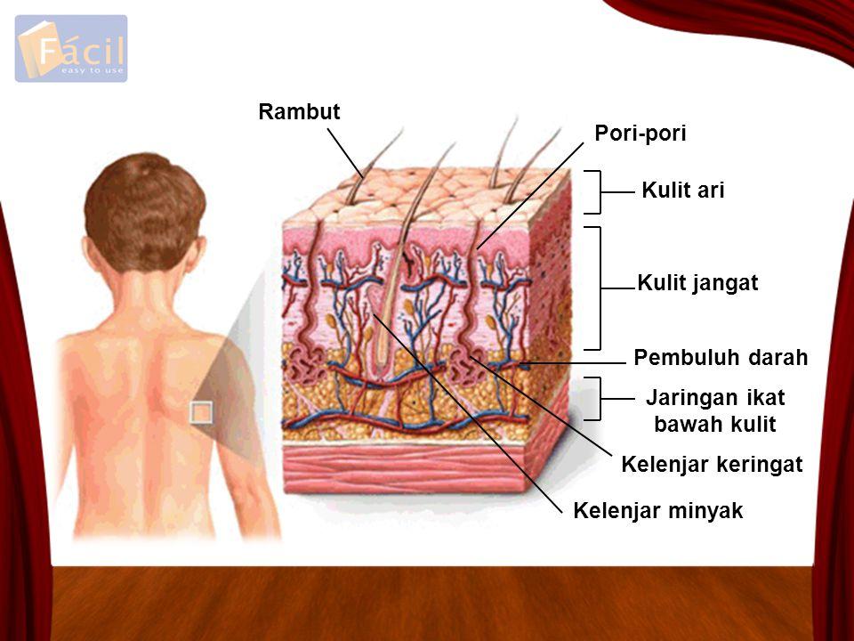 Rambut Pori-pori Kulit ari Kulit jangat Pembuluh darah Jaringan ikat bawah kulit Kelenjar keringat Kelenjar minyak