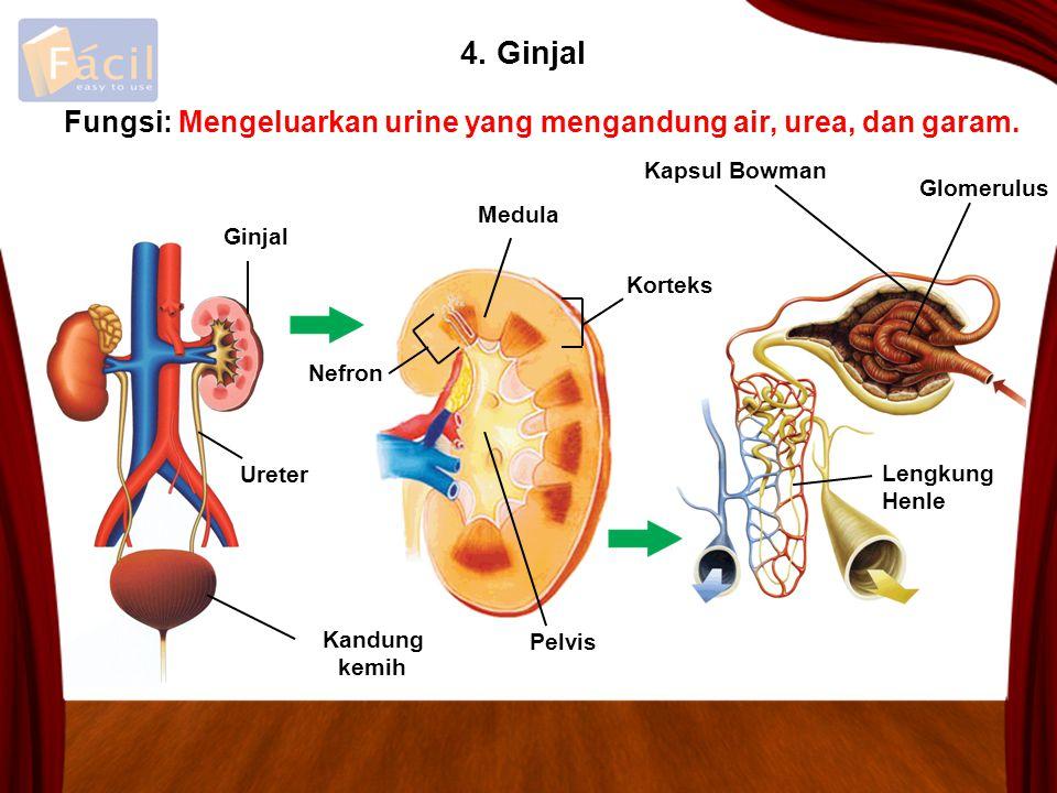 4. Ginjal Mengeluarkan urine yang mengandung air, urea, dan garam. Kapsul Bowman Glomerulus Ginjal Kandung kemih Ureter Lengkung Henle Korteks Medula