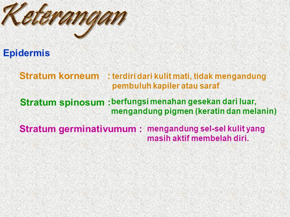 Epidermis Stratum korneum : Stratum spinosum : terdiri dari kulit mati, tidak mengandung pembuluh kapiler atau saraf berfungsi menahan gesekan dari lu