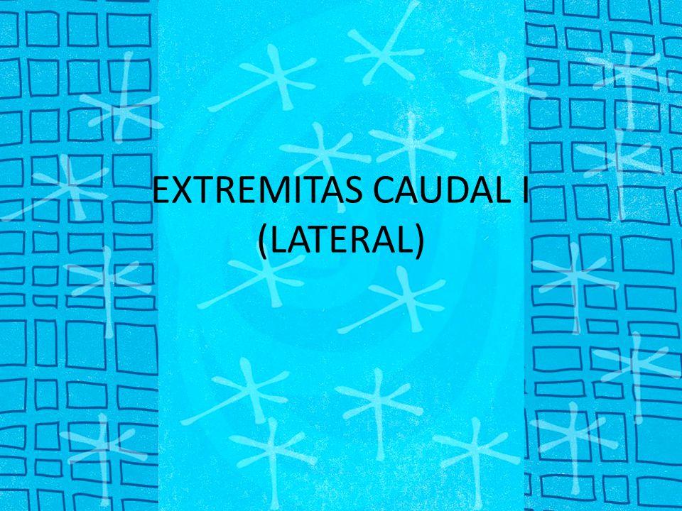 M. Extensor digitorum lateralis (ext. digiti IV): no.4