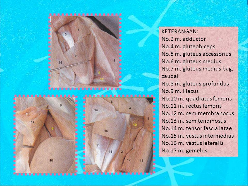 KETERANGAN: No.2 m.adductor No.4 m. gluteobiceps No.5 m.