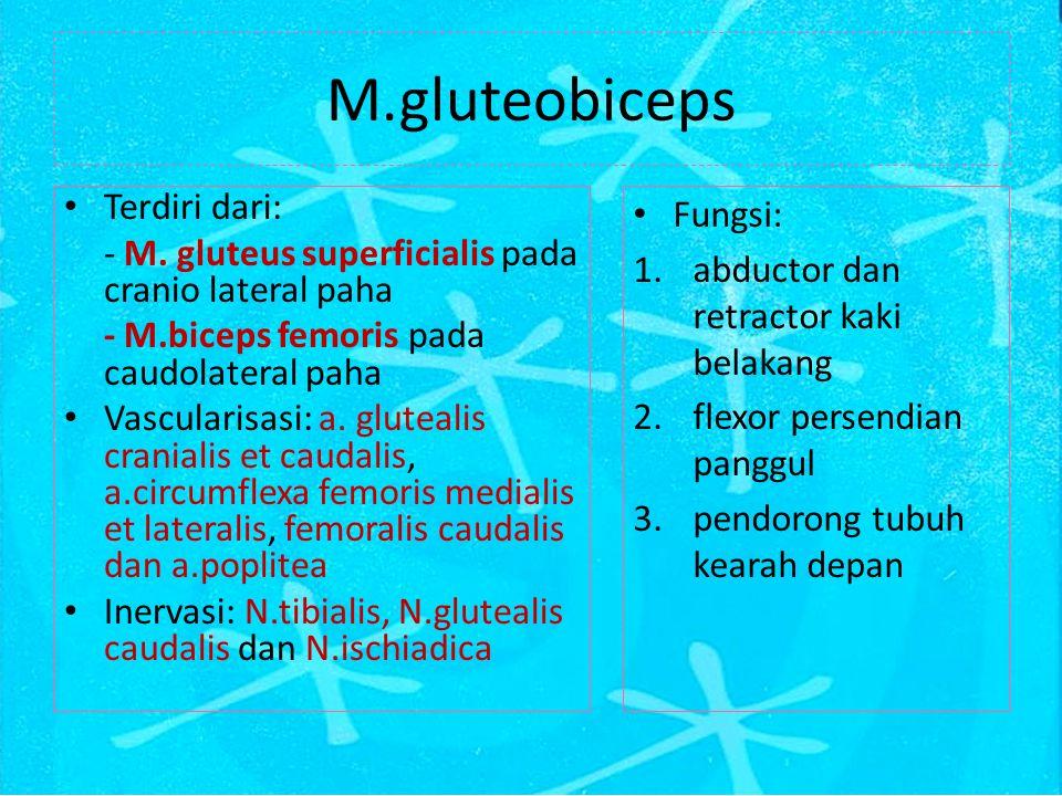 M.gluteobiceps Terdiri dari: - M.