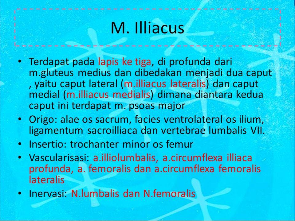 M. Illiacus Terdapat pada lapis ke tiga, di profunda dari m.gluteus medius dan dibedakan menjadi dua caput, yaitu caput lateral (m.illiacus lateralis)
