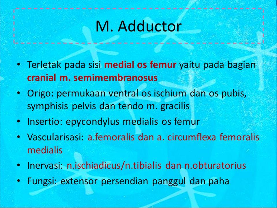 M.Adductor Terletak pada sisi medial os femur yaitu pada bagian cranial m.