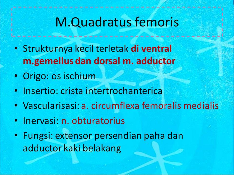 M.Quadratus femoris Strukturnya kecil terletak di ventral m.gemellus dan dorsal m.