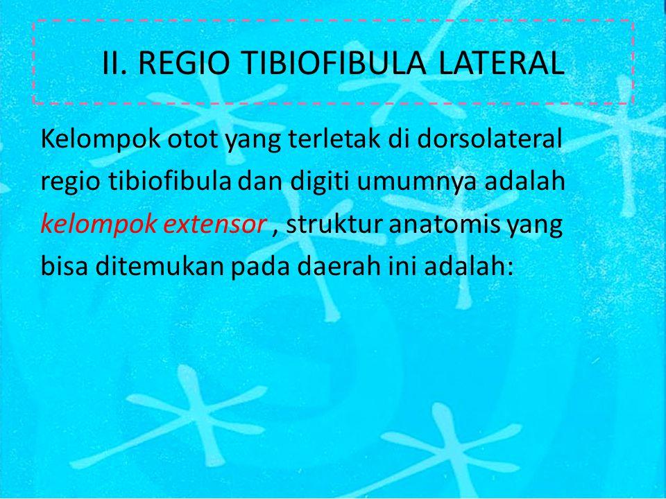 II. REGIO TIBIOFIBULA LATERAL Kelompok otot yang terletak di dorsolateral regio tibiofibula dan digiti umumnya adalah kelompok extensor, struktur anat