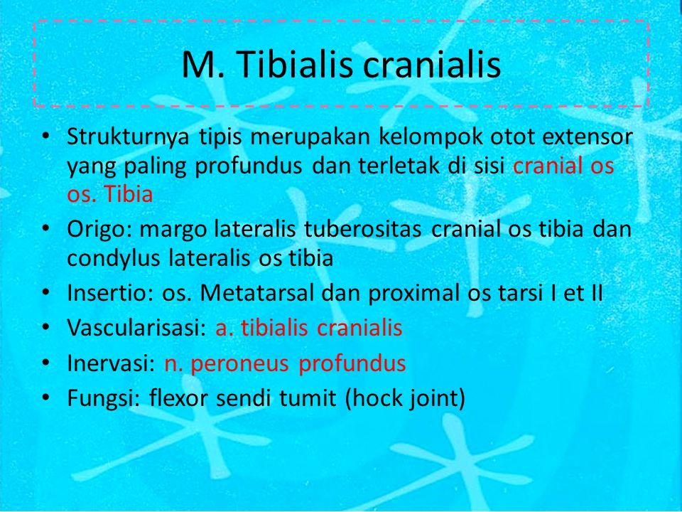 M. Tibialis cranialis Strukturnya tipis merupakan kelompok otot extensor yang paling profundus dan terletak di sisi cranial os os. Tibia Origo: margo