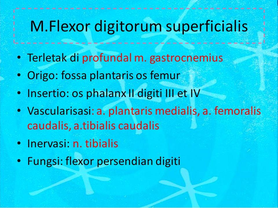 M.Flexor digitorum superficialis Terletak di profundal m.