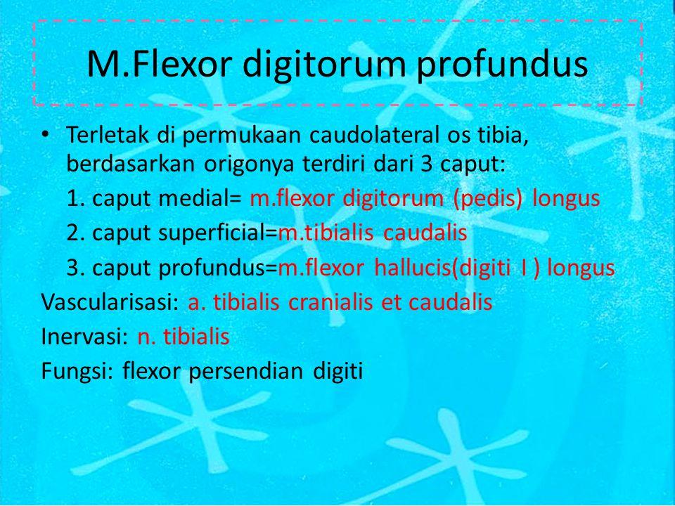 M.Flexor digitorum profundus Terletak di permukaan caudolateral os tibia, berdasarkan origonya terdiri dari 3 caput: 1.