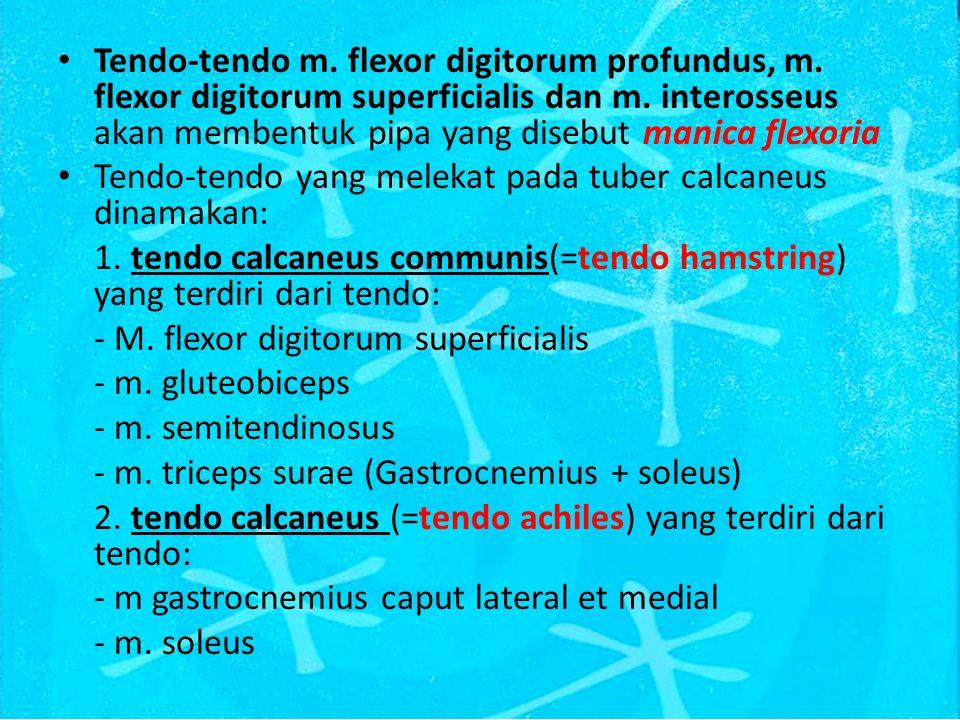 Tendo-tendo m.flexor digitorum profundus, m. flexor digitorum superficialis dan m.