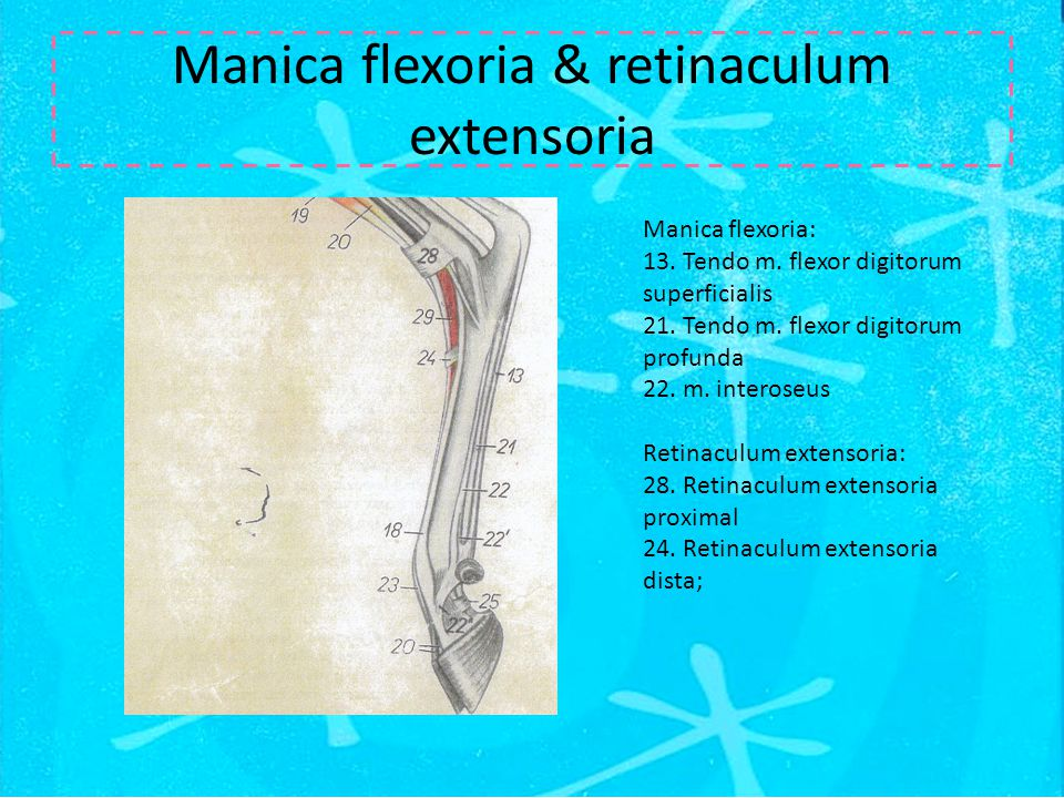 Manica flexoria & retinaculum extensoria Manica flexoria: 13. Tendo m. flexor digitorum superficialis 21. Tendo m. flexor digitorum profunda 22. m. in